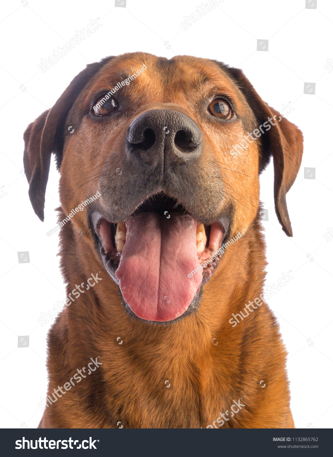 Large Brown Dog Short Hair On Stock Photo Edit Now 1132865762
