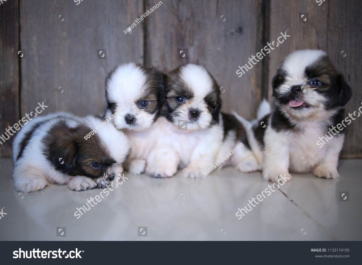 Cute Shih Tzu Puppies Action Stock Photo Edit Now 1133174195