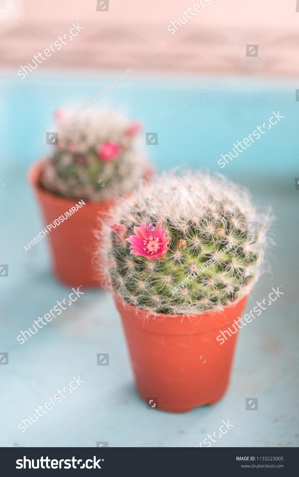 Beautiful Cactus Flower Closeup Cactus Pot Stock Photo Edit Now