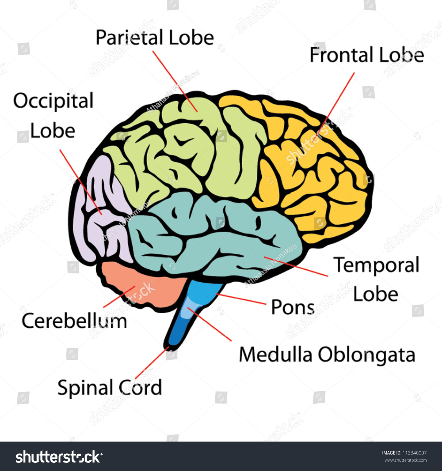 Brain Sections Vector Stock Vector 113340007 - Shutterstock