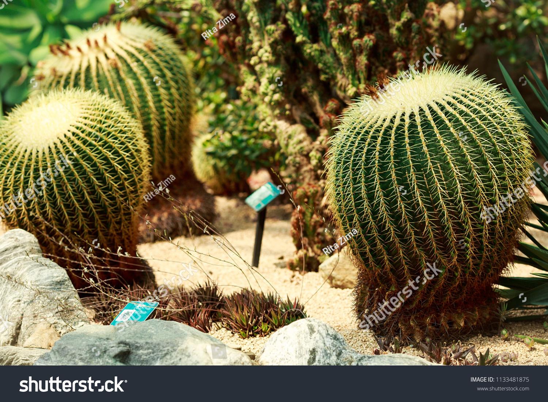 Group Cacti Green Conservatory Cacti Botanical Stock Photo (Royalty ...
