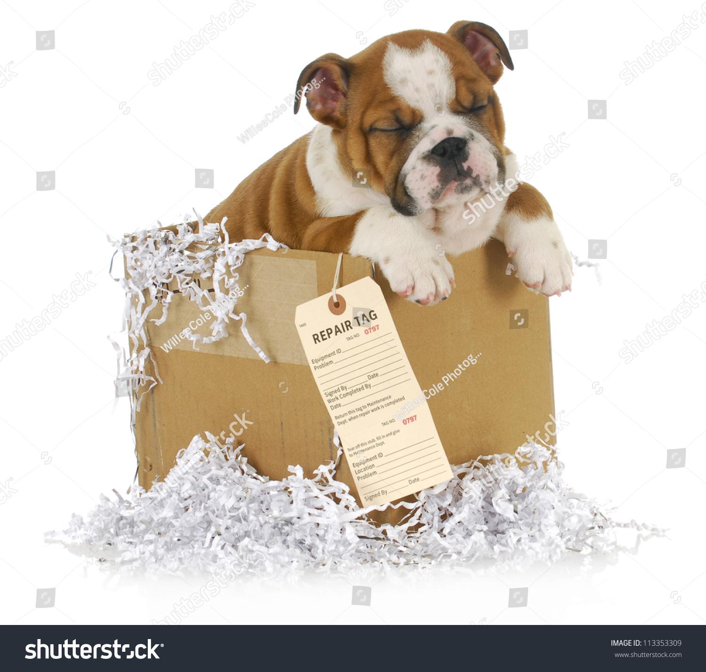 Veterinary Care English Bulldog Puppy Cardboard Stock Photo Edit Now 113353309