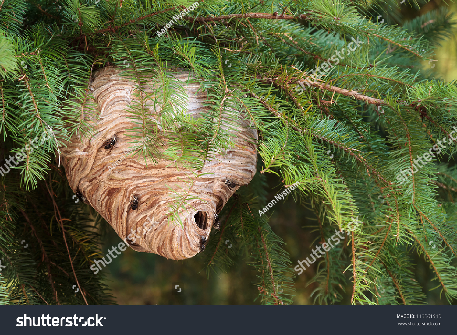 Large Wasp Nest Pine Tree Stock Photo 113361910 - Shutterstock