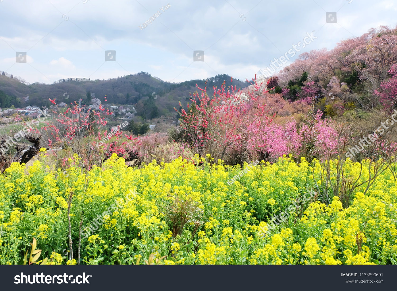 Hanamiyama Park Flowers Park Japan Famous Stock Photo Edit Now