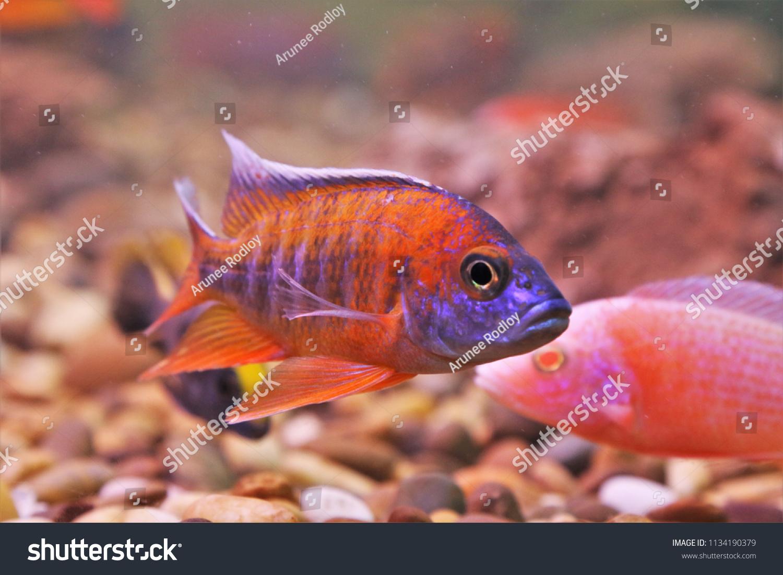 Colorful Ornamental Fish African Cichlids Malawi Stock Photo (Edit ...