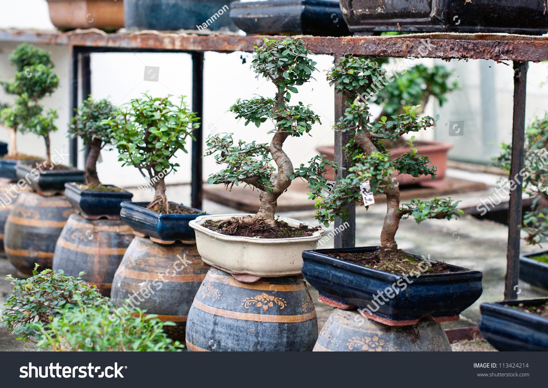 Bonsai Trees Pots Sale Stock Photo Edit Now 113424214