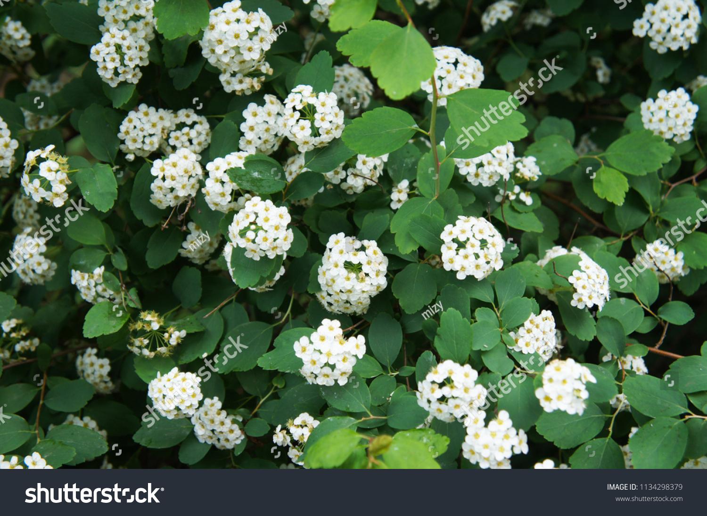 Shrub Spiraea Betulifolia Tor Birchleaf Spirea Stock Photo Edit Now
