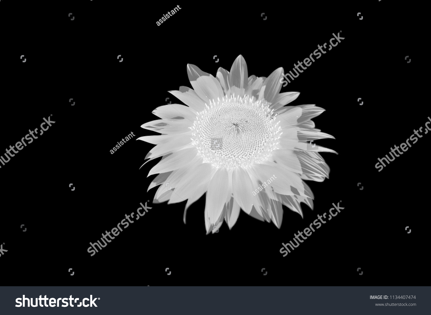 Black And White Sunflower Isolated Monochrome Flower On A Background For Typography