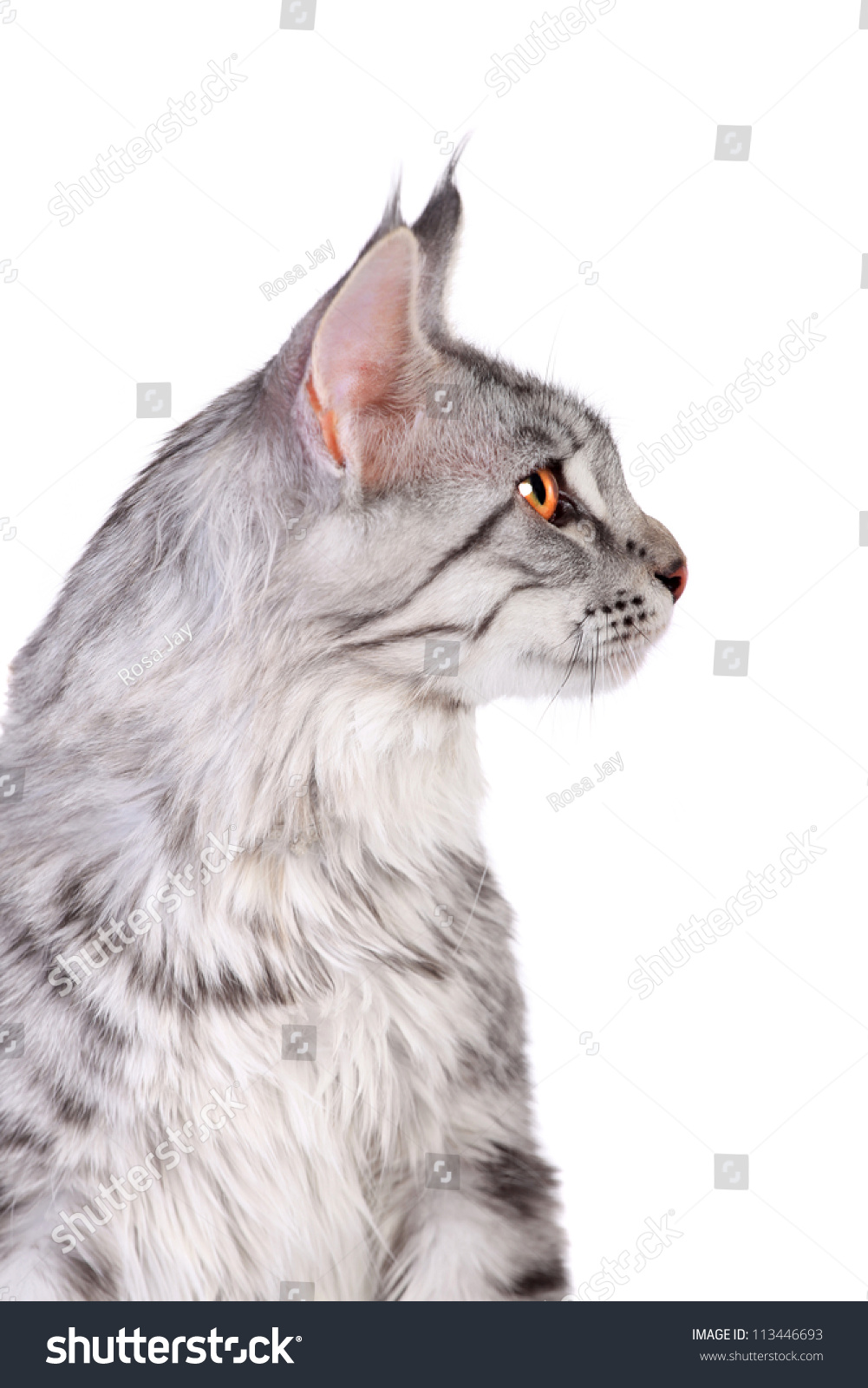 Silver Tabby Maine Coon Kitten 5 Stock Photo Edit Now 113446693