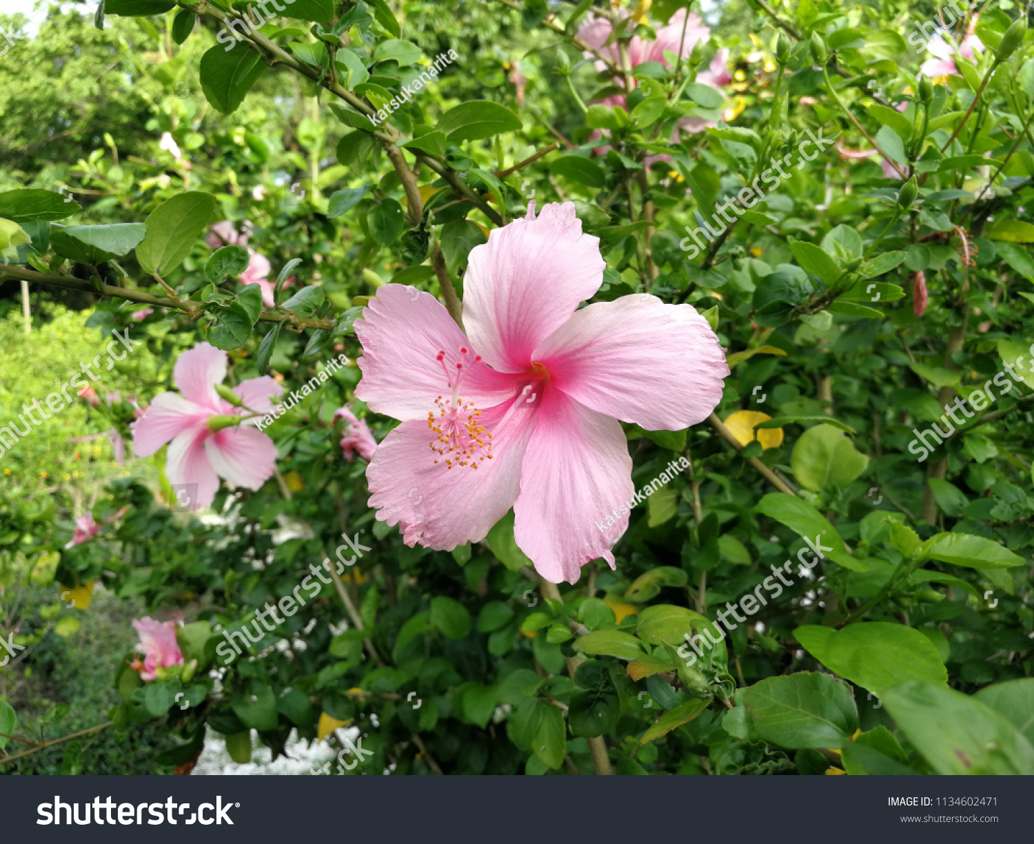Bright Pink Flower Purple Hibiscus Pink Stock Photo Edit Now