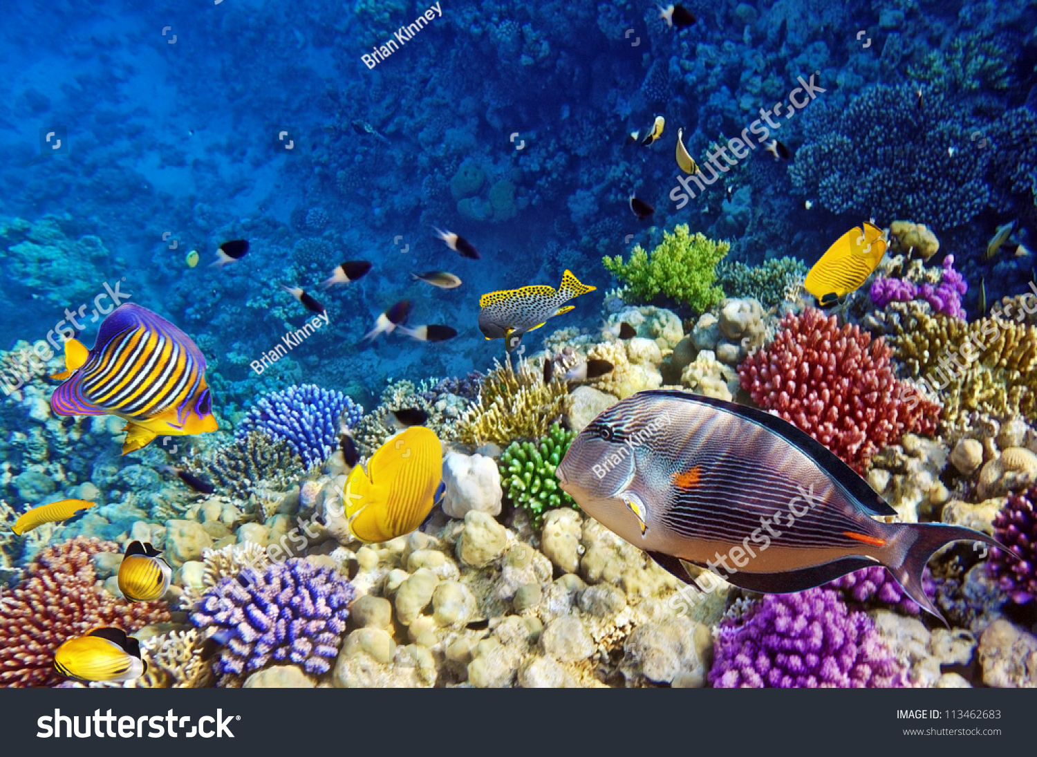 Coral fish red seaegypt stock photo 113462683 shutterstock for Red sea fish