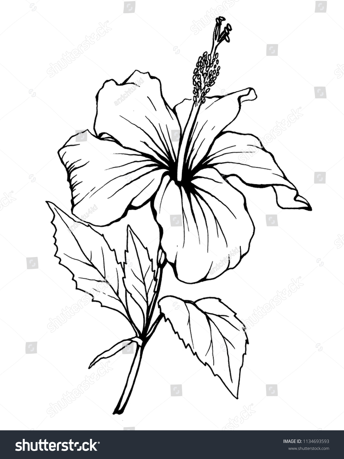 Hibiscus Flower Also Known Rose Althea Stock Illustration 1134693593