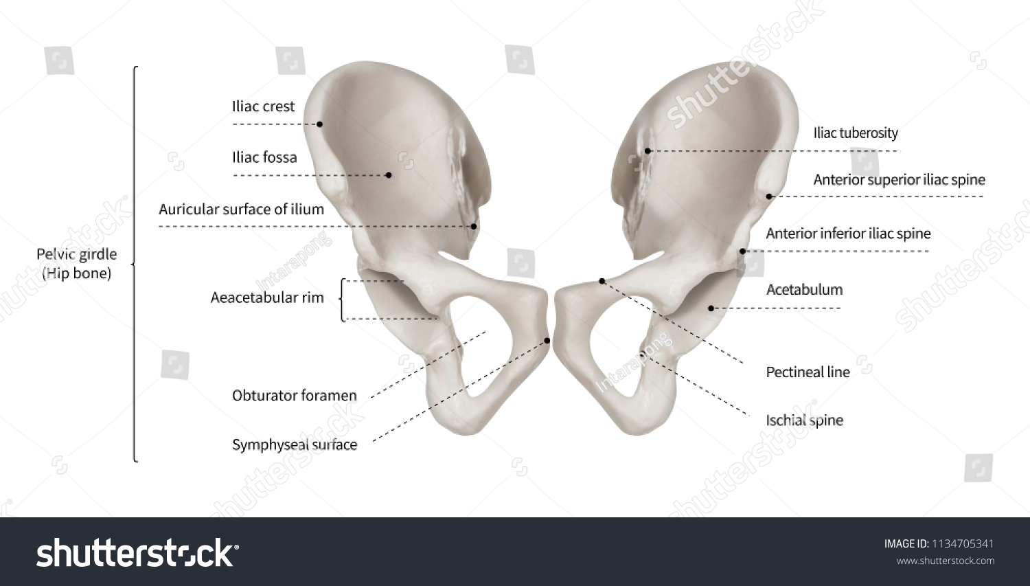 Infographic Diagram Human Hip Bone Pelvic Stock Illustration ...