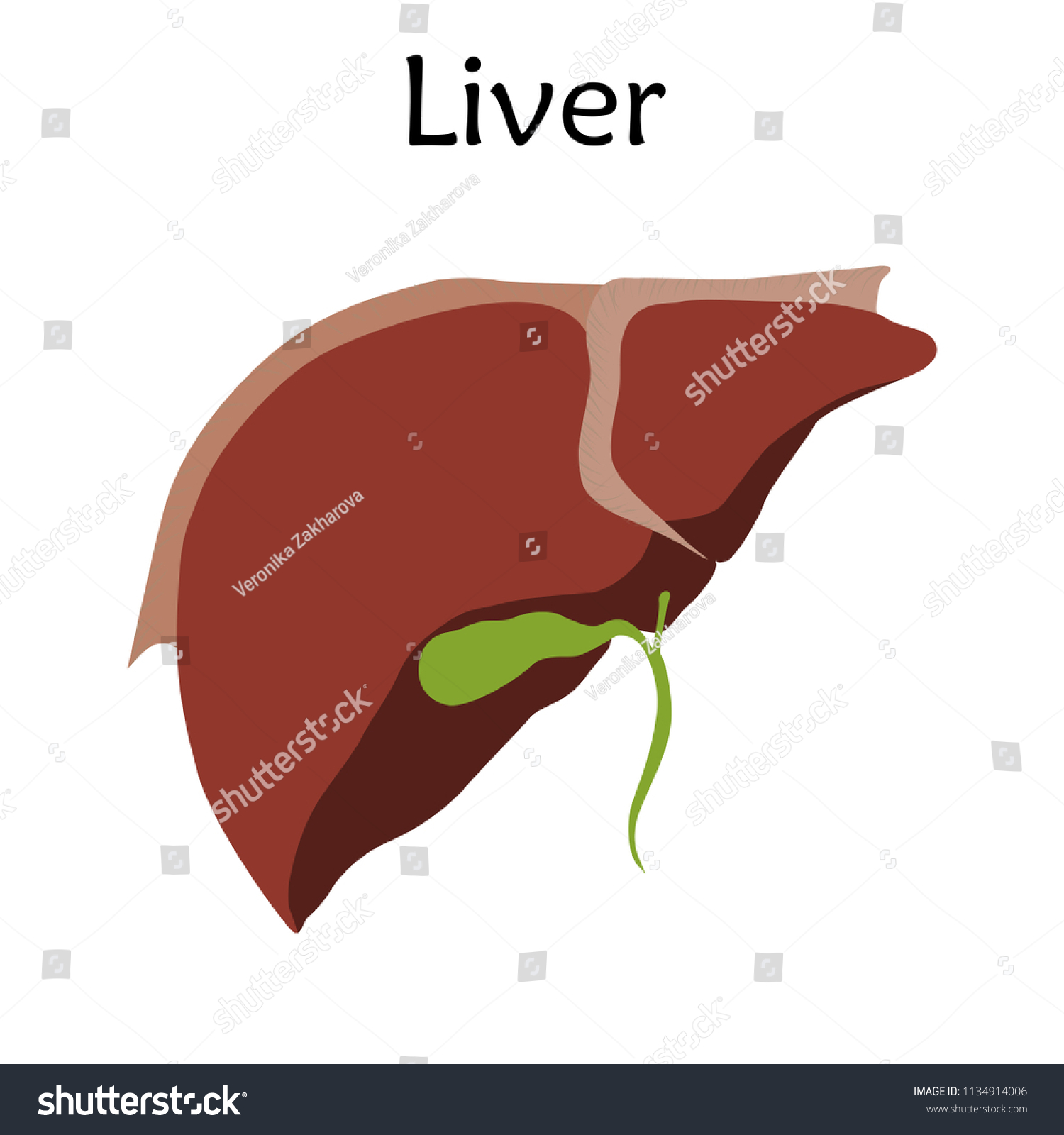 Perfect Liver Anatomy Human Festooning - Anatomy and Physiology ...