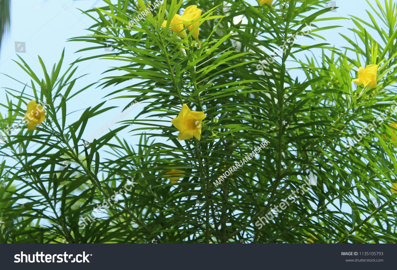 Yellow Cascabela Thevetia Flowerwith Leafs Thevetia Peruviana Stock