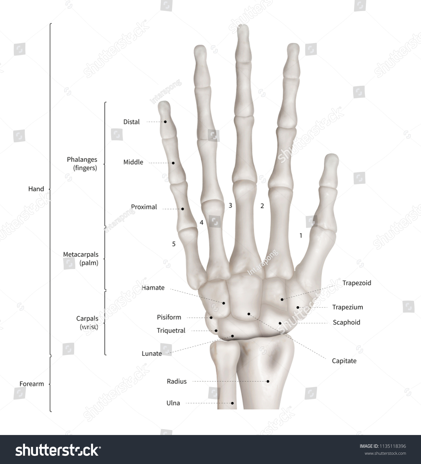 Royalty Free Stock Illustration Of Infographic Diagram Human Hand