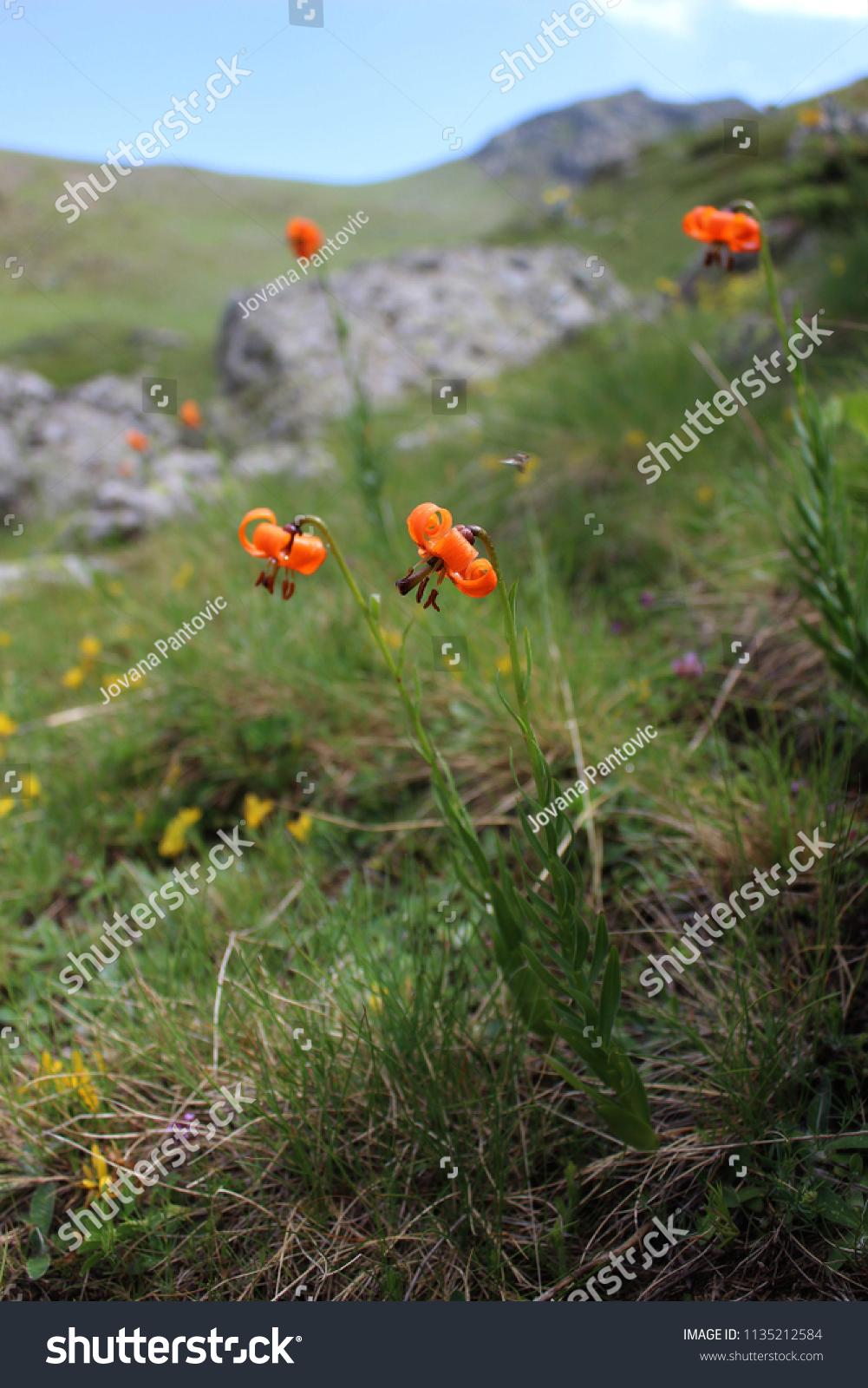 Orange Flowers Wild Lily Lilium Carniolicum Stock Photo Edit Now