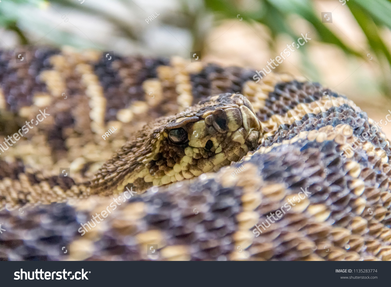 closeup shot of a Eastern diamondback rattlesnake #1135283774
