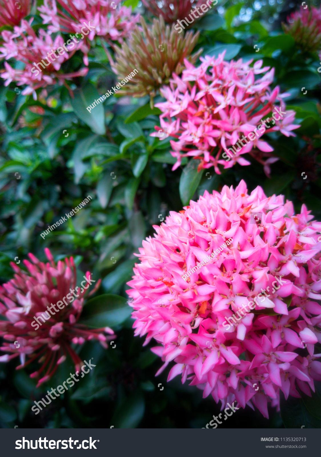 Beautiful Pink Spike Flowers Ixora Blooming Stock Photo Edit Now