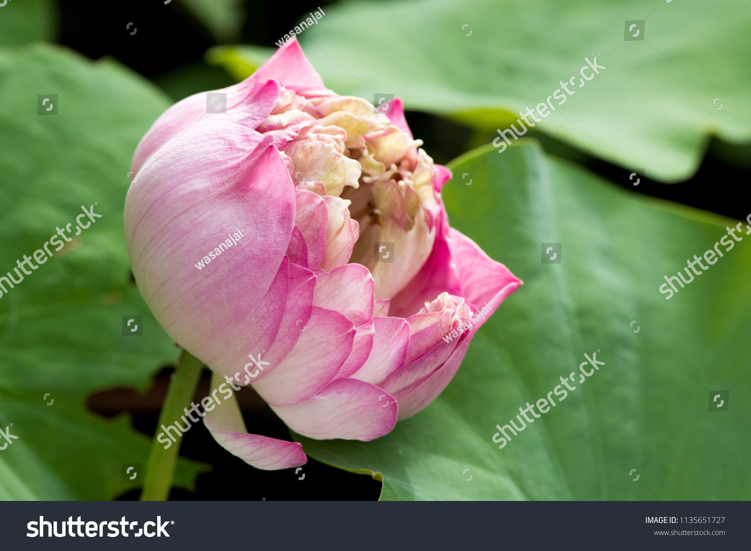 Lotus sacred lotus egyptian lotusflower garden stock photo royalty lotus sacred lotus egyptian lotusflower in the garden herb izmirmasajfo
