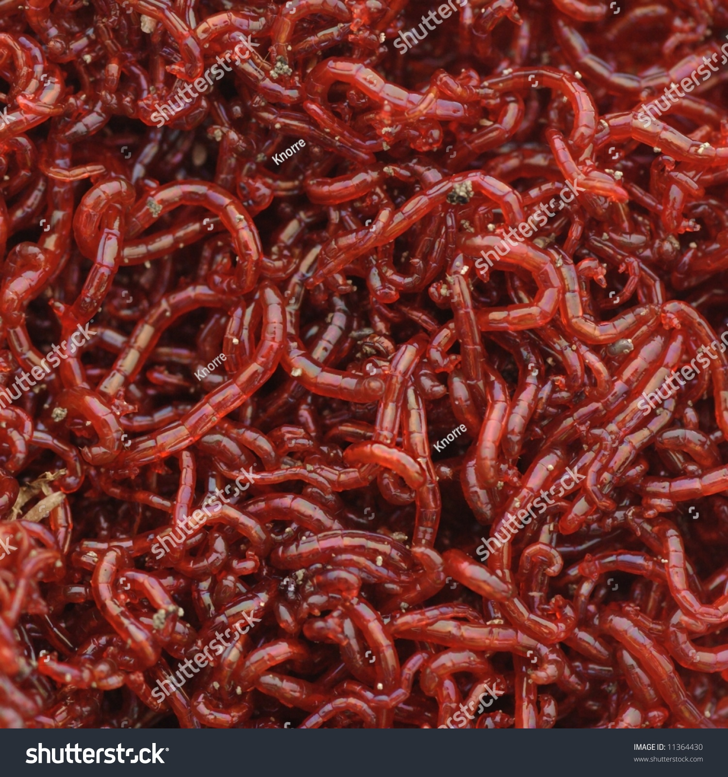 bloodworms midge larvae common life food stock photo 11364430, Fishing Bait