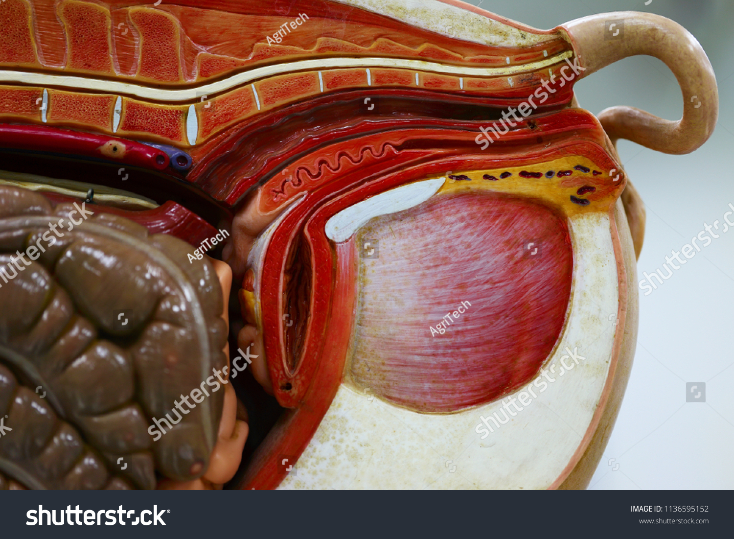 Internal Organs Pig Pig Anatomy Model Stock Photo Edit Now