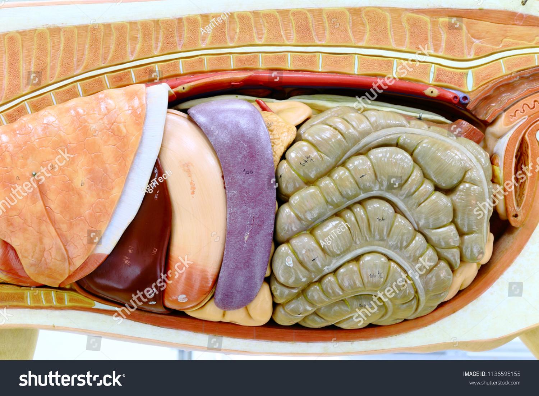 Internal Organs Pig Pig Anatomy Model Stock Photo (Edit Now ...