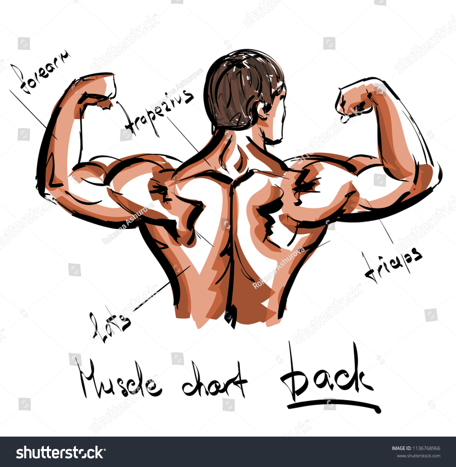 Muscle Chart Human Back Bodybuilder Posing Stock Vector Royalty
