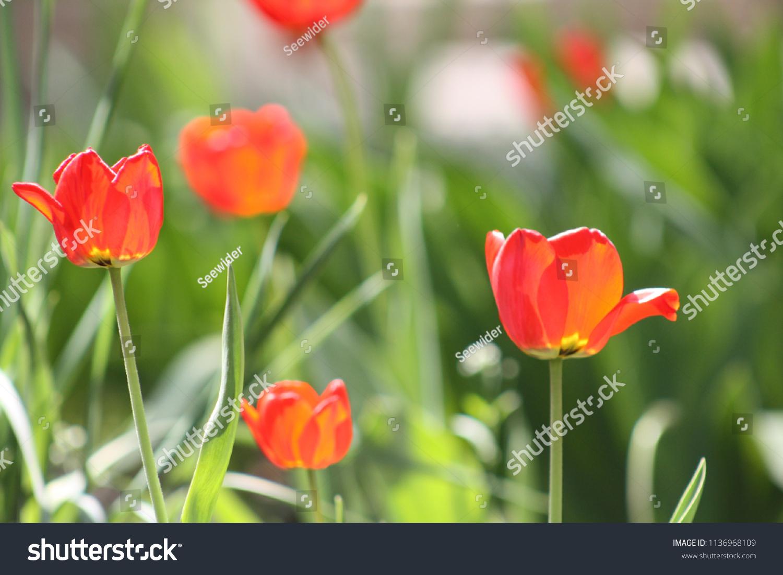 Flowers Tulips Beautiful Nature Garden Plants Nature Stock Image