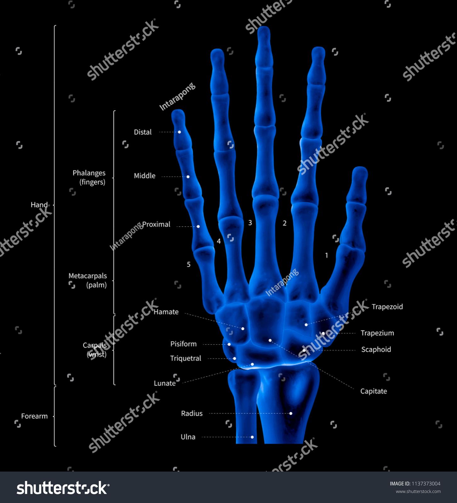 Infographic Diagram Human Hand Bone Anatomy Stock Illustration