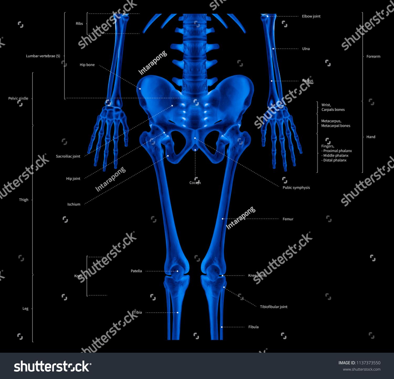 Infographic Diagram Lower Half Human Skeleton Stock Illustration