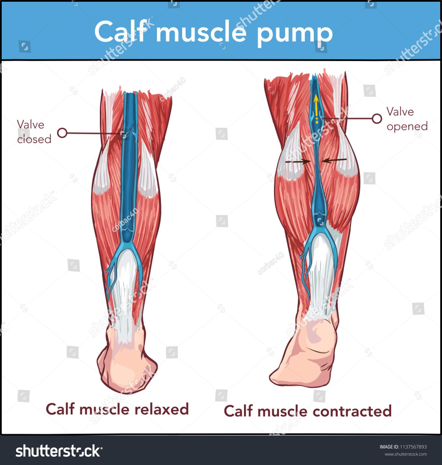Vector Calf Muscle Pump Stock Vektorgrafik Lizenzfrei 1137567893