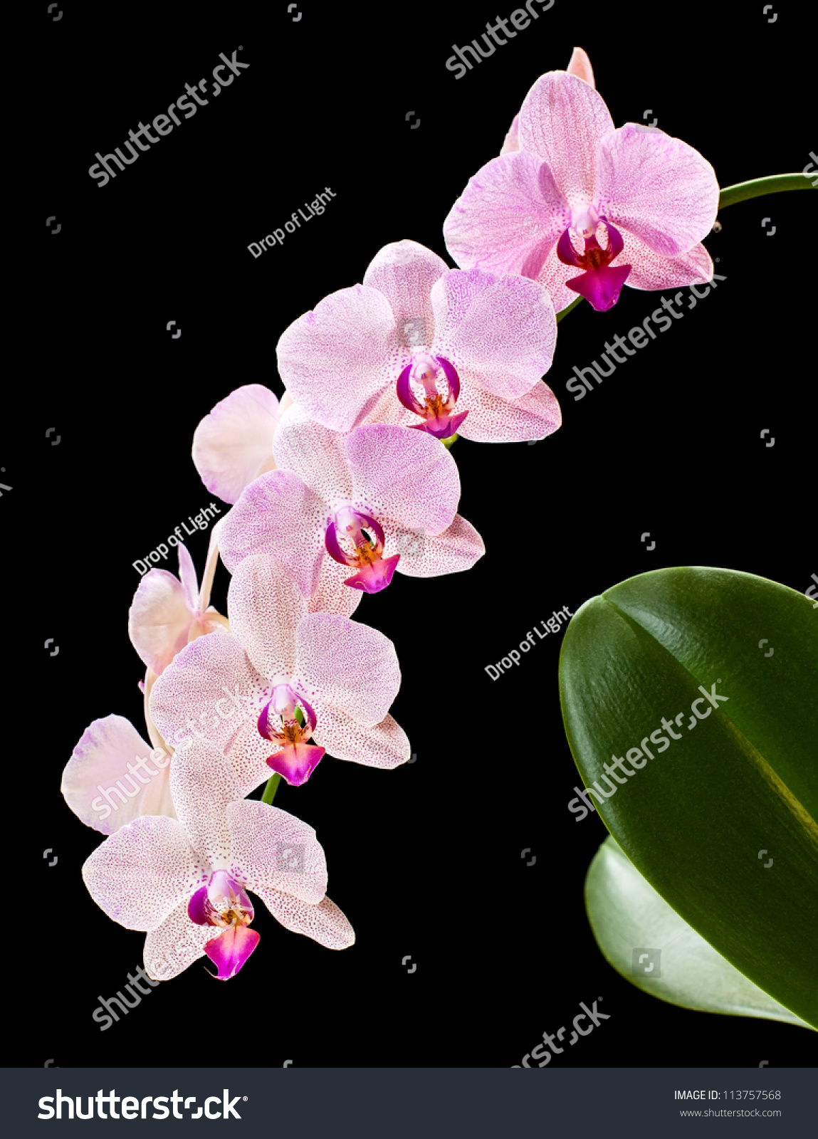 This guide to Phalaenopsis Orchids (Moth Orchids) Phalaenopsis do not have a set flowering time of the year, This can attract black moulds.