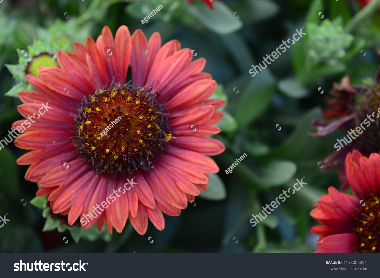 Gaillardia aristata mesa red large daisy stock photo royalty free gaillardia aristata mesa red large daisy like flowers in dark red color izmirmasajfo