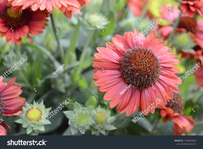Gaillardia Aristata Mesa Red Large Daisy Stock Photo Download Now