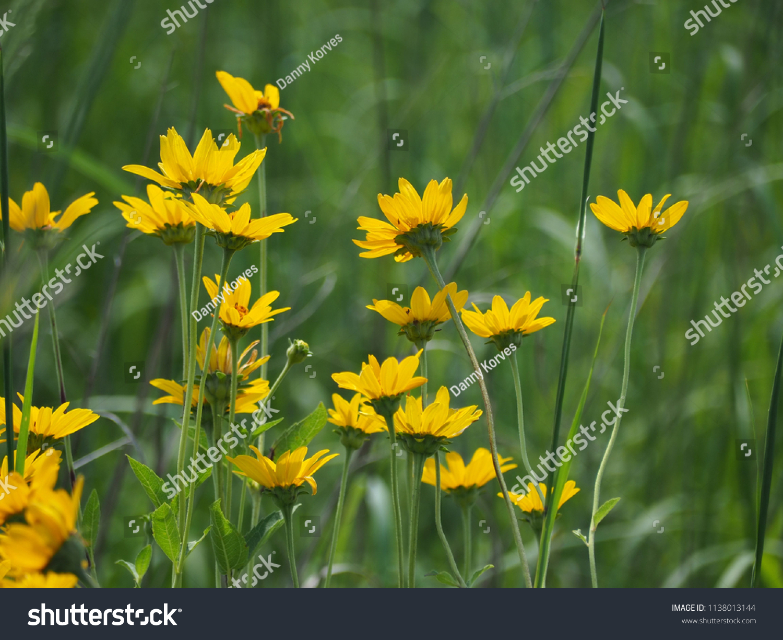 Yellow Prairie Flowers Detail Stock Photo Royalty Free 1138013144
