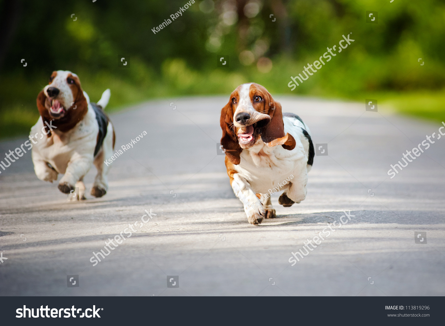 Cute Funny Dogs Basset Hound Running On The Road Stock