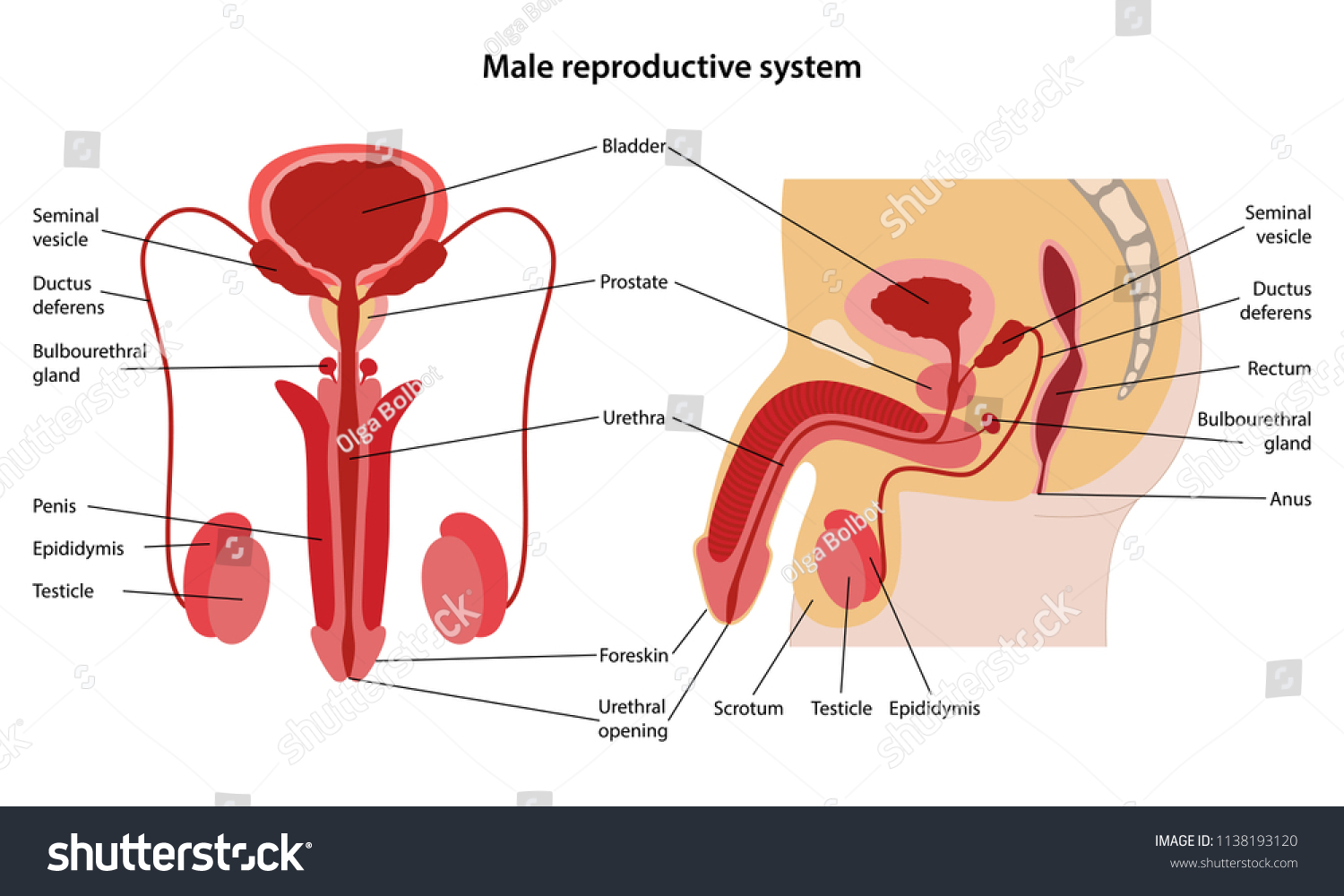 Male Reproductive System Main Parts Labeled Stock Vector Royalty