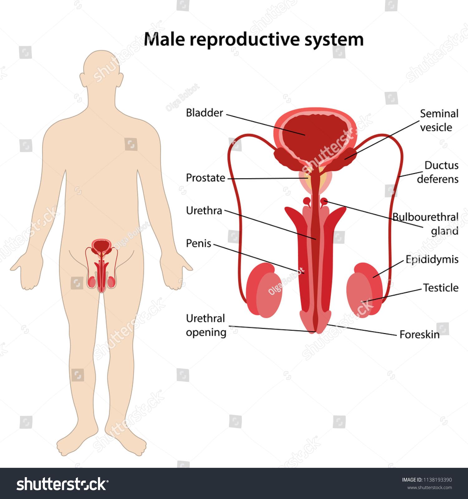 Male Reproductive System Main Parts Labeled Stock Vektorgrafik
