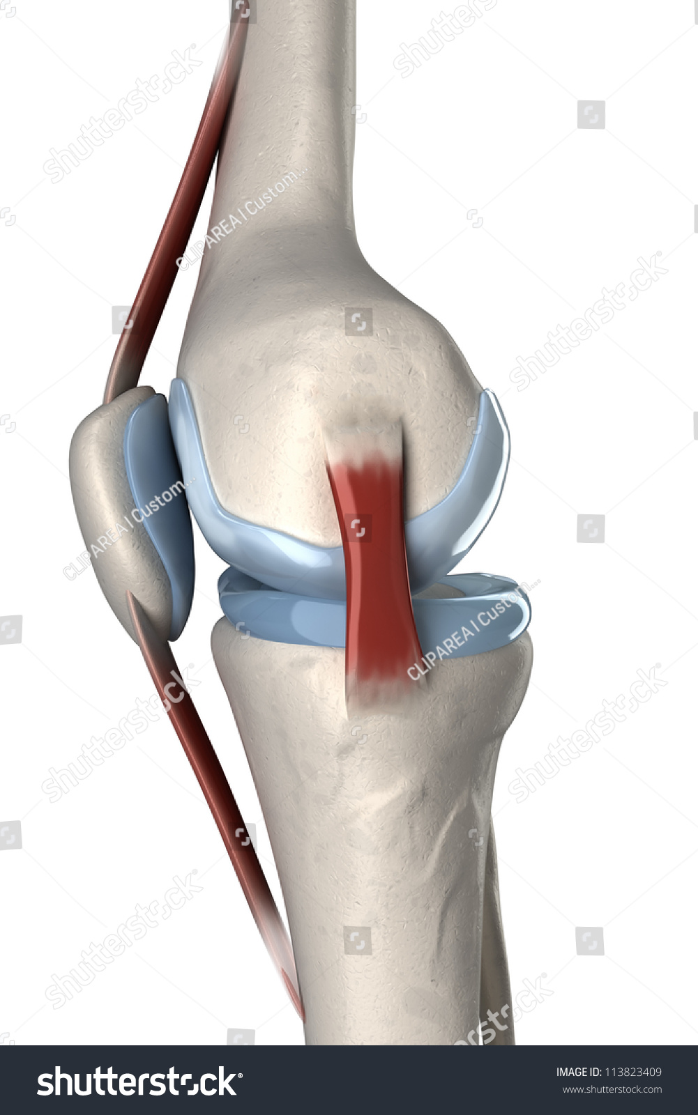 Isolated Human Knee Anatomy Lateral View Stock Illustration