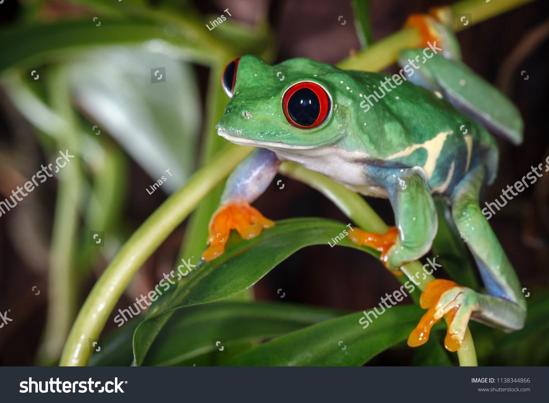Red Eyed Tree Frog Terrarium Stock Photo Edit Now 1138344866