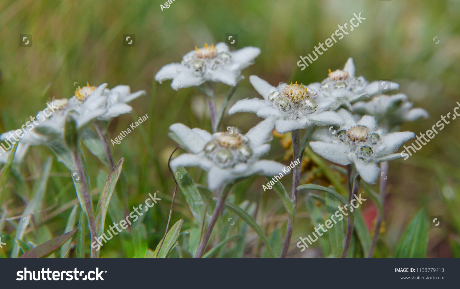 White Alpine Flower Edelweiss Stock Photo Edit Now 1138779413