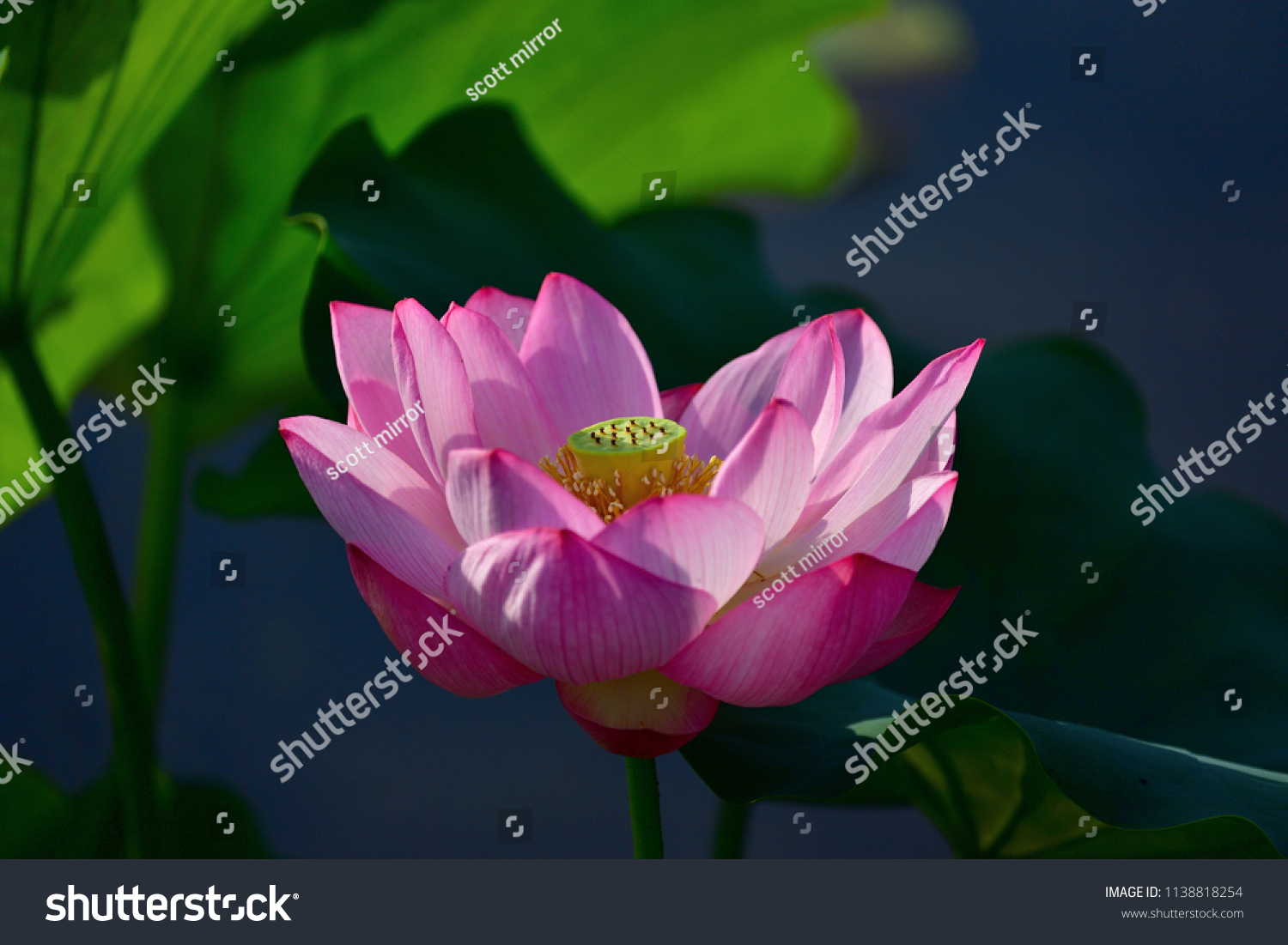Beautiful lotus flower shining light that stock photo edit now beautiful lotus flower shining in the light that past the best time a little izmirmasajfo