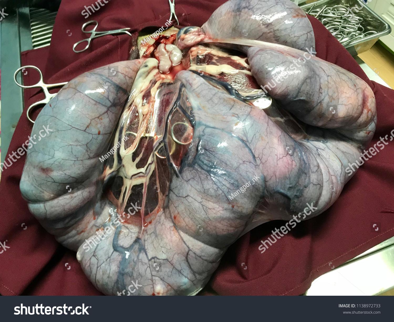 Dog Veterinary Surgery Surgery Pyometra Uterus Stock Photo (Edit Now ...