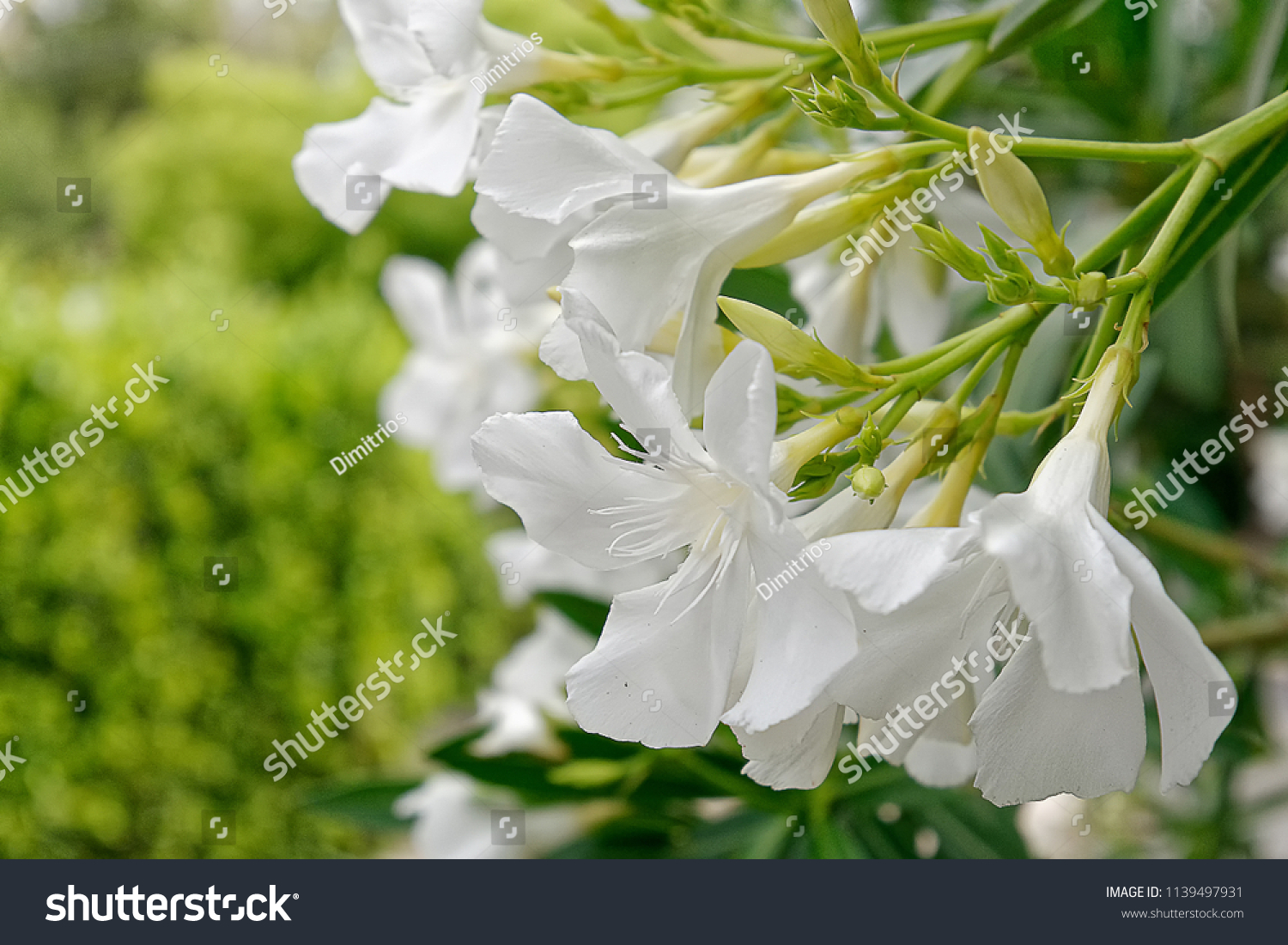 White Oleander Flowers Bunch Close Stock Photo Edit Now 1139497931