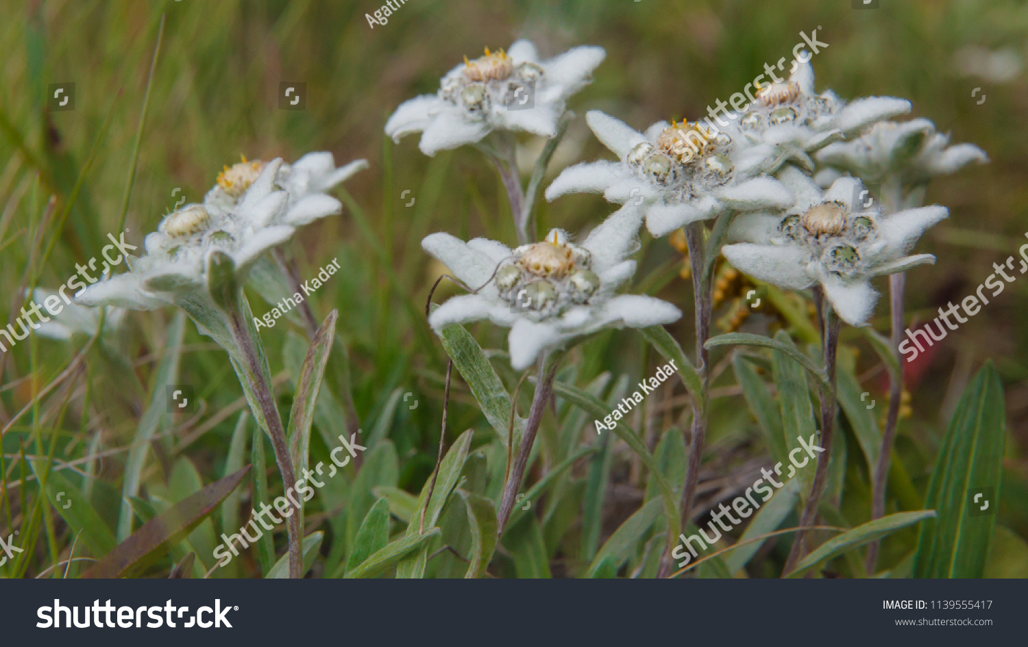 White Alpine Flower Edelweiss Stock Photo Edit Now 1139555417