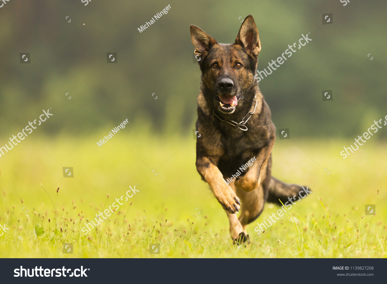 German Shepherd Dog is running close up