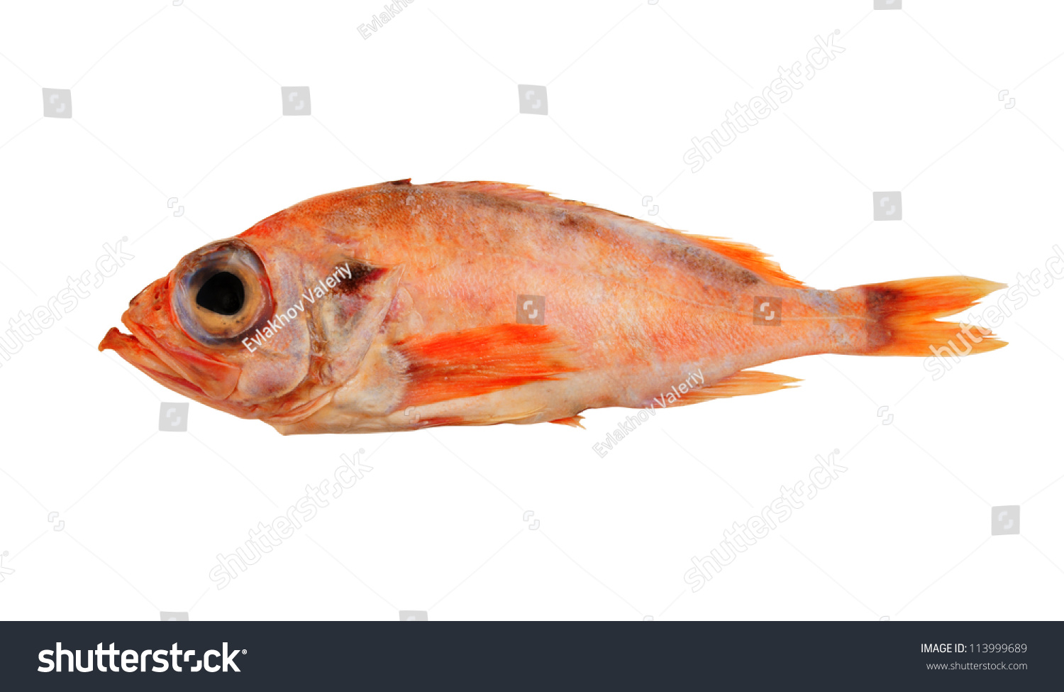 Redfish ocean perch isolated on white stock photo for Ocean perch fish