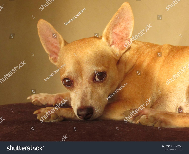 stock-photo--cute-golden-chihuahua-dog-l