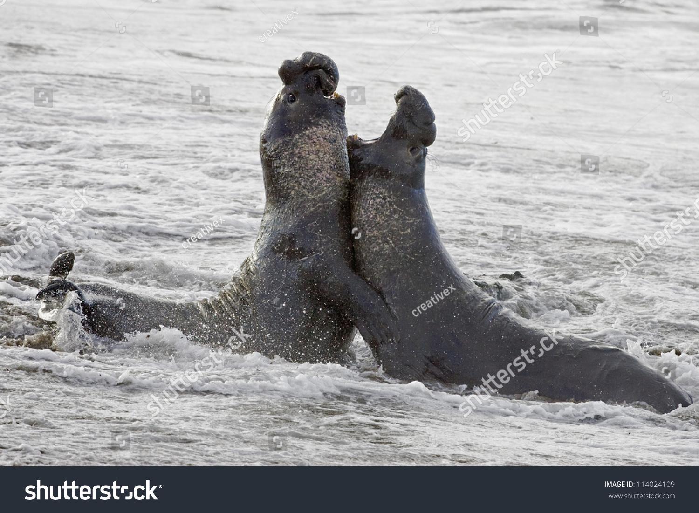 bull elephant seals fight territory on stock photo 114024109